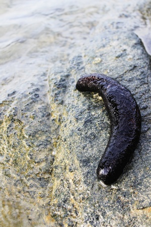 sea cucumber: sea cucumber Stock Photo