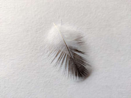 Close up of one pigeon feather isolated on white background. Copy space