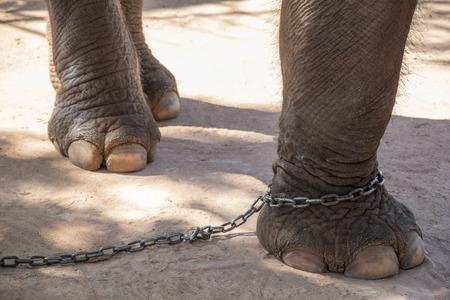 chained leg elephant Standard-Bild
