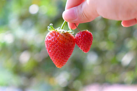 woman hand hold Strawberry