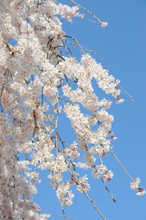 flor cerezo: Blooming ramas flor de cerezo en frente de cielo azul