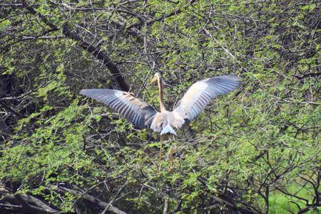 migrated: India - March 27,2017 - Migrated Birds in Bharatpur Bird Sanctuary Park