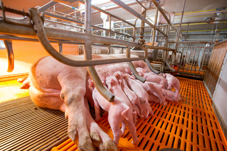 Swine farm with high quality Farming 1