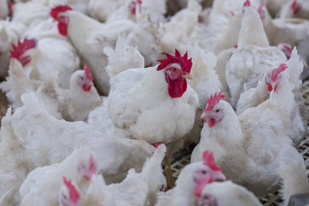 chicken farm business with high farming and using technology on farming