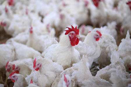 chicken farm business with high farming and using technology on farming 3