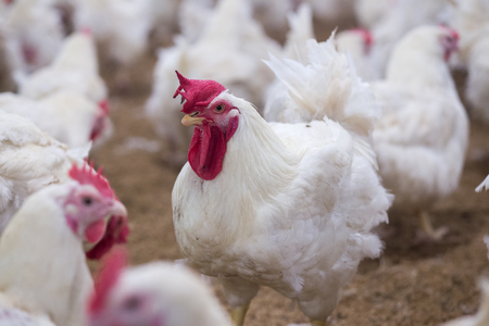 chicken farm business with high farming and using technology on farming 1 Stock Photo