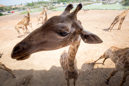 Giraffe with friendly acting
