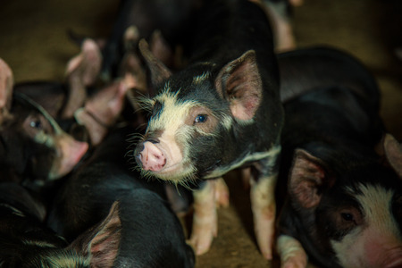 Berkshire Pig or Kurobuta Pig - swine farming business in relax time. Pig farming is the raising and breeding of domestic pigs as livestock. Pig business Banco de Imagens