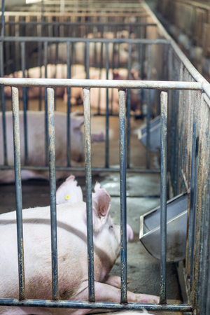 Pigs locked inside the cage.