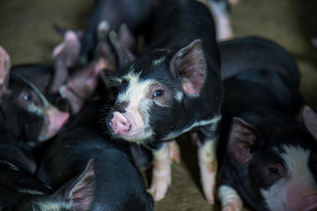 Berkshire Pig or Kurobuta Pig - swine farming business in relax time. Pig farming is the raising and breeding of domestic pigs as livestock. Pig business Banco de Imagens - 107319652