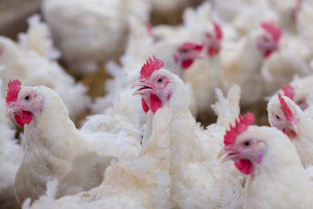 Negocio de granjas avícolas con el fin de cultivar carne o huevos para obtener alimentos a partir de pollo (agricultura)