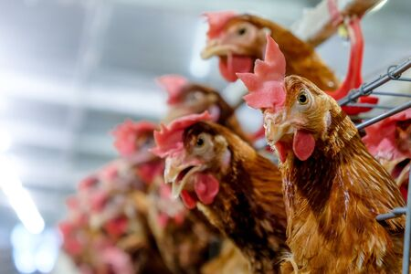 Chicken laying eggs product in farm