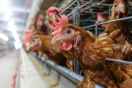 (noise and blur some chicken) Layer Chickens with Multilevel production line conveyor production line of chicken eggs of a poultry farm, Layer Farm housing, Agriculture technological equipment factory
