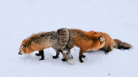 Brown Fox was sleeping and walking on snow ground so cute but feral. There are too many foxes with hungry face in fox village