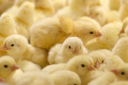 Baby Chick just born on the tray