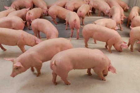 Curious pigs in Pig Breeding farm