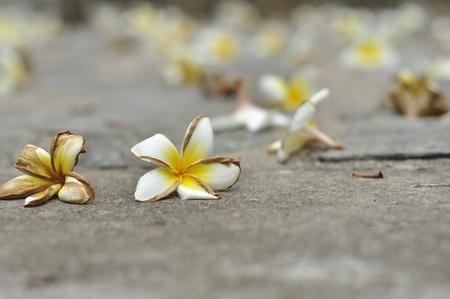 corpse flower: Frangipani