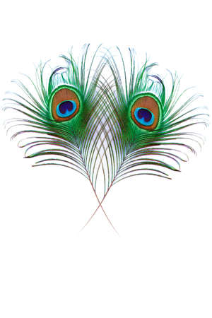 Peacock Feather design with copy space on white background