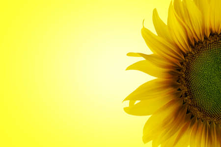 sunflower on a yellow background Banco de Imagens