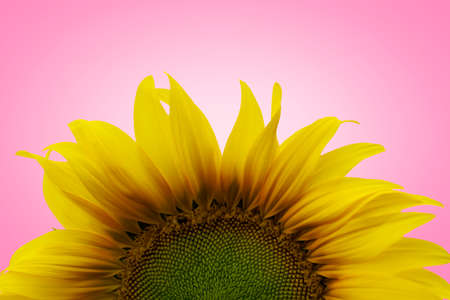 sunflower and bee on pink background