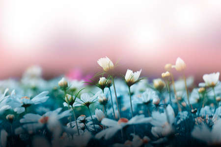 White cosmos flower on a pink background