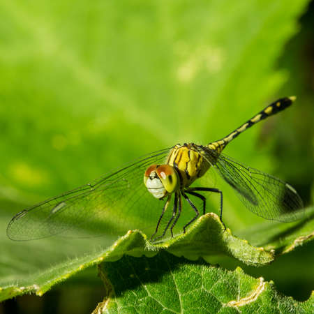 insecta: Macro photo of dragonfly on leaf, dragonfly is insect in arthropoda phylum, Insecta, dragonfly are characterized by large multifaceted eyes, two pairs of strong transparent wings., Selective focus. Stock Photo