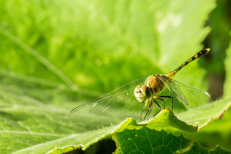 characterize: Macro photo of dragonfly on leaf, dragonfly is insect in arthropoda phylum, Insecta, dragonfly are characterized by large multifaceted eyes, two pairs of strong transparent wings., Selective focus. Stock Photo
