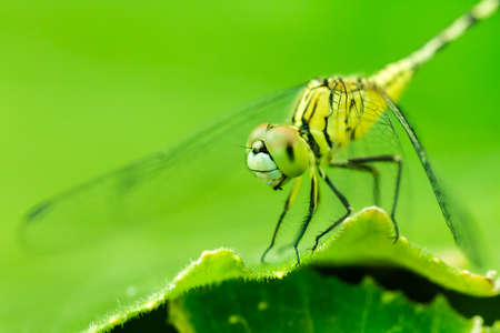 phylum: Macro photo of dragonfly on leaf, dragonfly is insect in arthropoda phylum, Insecta, dragonfly are characterized by large multifaceted eyes, two pairs of strong transparent wings., Selective focus. Stock Photo