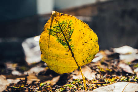 low key of yellow-brown leaf on wet autumn floor in a park in Thailand-selective focus and toned color.