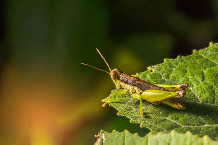 caelifera: Grasshopper are plant eating insects and they are classified as serious pest and threat to food crop growers, Macro, Grasshoppers are insects of the order Orthoptera, suborder Caelifera Stock Photo