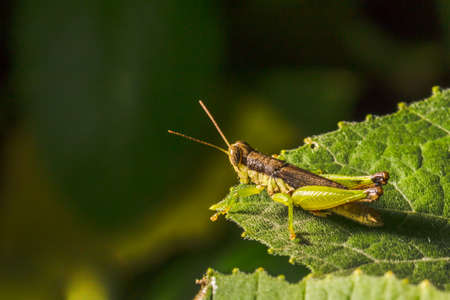 fruition: Grasshopper are plant eating insects and they are classified as serious pest and threat to food crop growers, Macro, Grasshoppers are insects of the order Orthoptera, suborder Caelifera Stock Photo