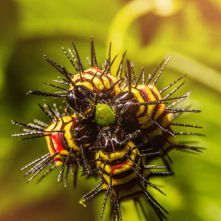 Macro of Painted Jezebel (Delias hyparete) caterpillars on their host plant leaf in nature,Butterfly worm, Low key and selective focus, Colroful.