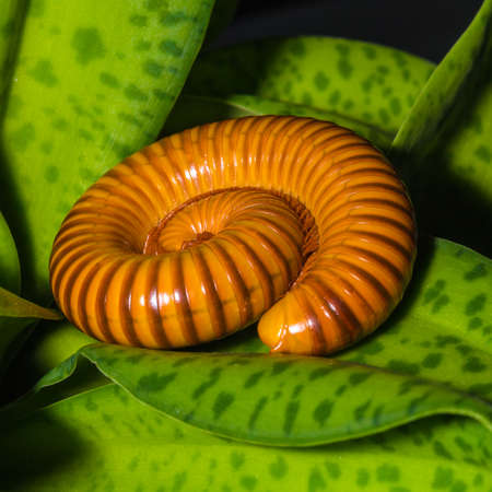 Macro of orange and brown millipede on green leaf, Millipede coiled, Disambiguation