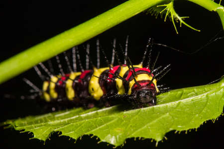 Macro of Painted Jezebel (Delias hyparete) caterpillars on backside of their host plant leaf in nature,Butterfly worm, Low key and selective focus, Soft focus. Stock Photo
