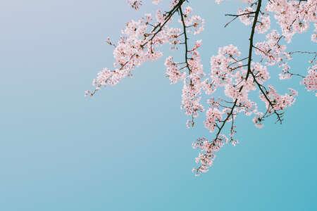 Beautiful cherry blossom in full bloom in springtime,sakura flower,cherry blossom festival season in japan
