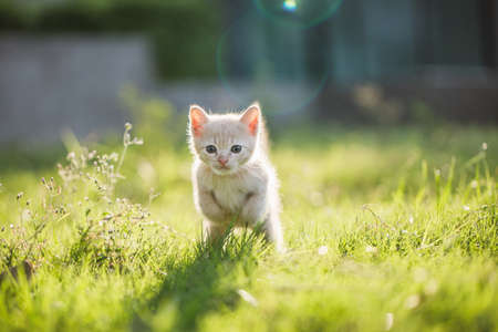 Cute brown Scottish kitten walking and playing on lawn in park in morning. Fresh and lovely. Scottish kitten mixed with Thai cat. cute and naughty of kitten or cat concept. pet animal. Cat crossbreed
