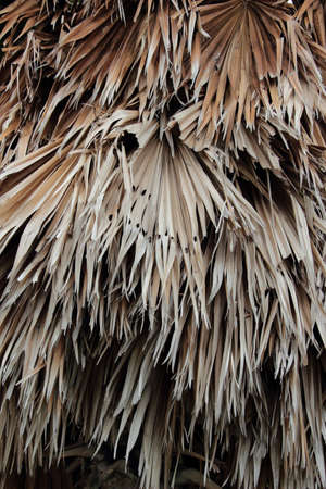sugar palm: Old sugar palm leaf Stock Photo