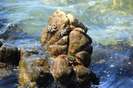 mangrove: meders mangrove crab