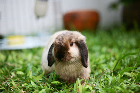 lop: Rabbit holland lop siamese color