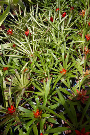 cryptanthus: flowers guzmania beautiful green leaves Stock Photo