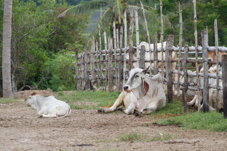 Cow resting in farm Thailand