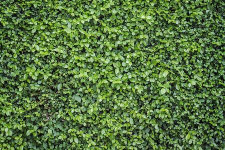 wall ivy: Hoja verde de la pared de fondo Foto de archivo