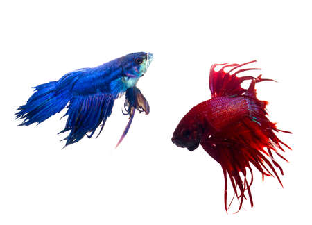 Siamese fighting fish isolated on white background Stock Photo - 15691173