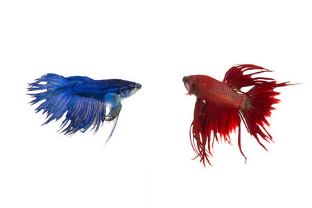 Siamese fighting fish isolated on white background Stock Photo - 15691172