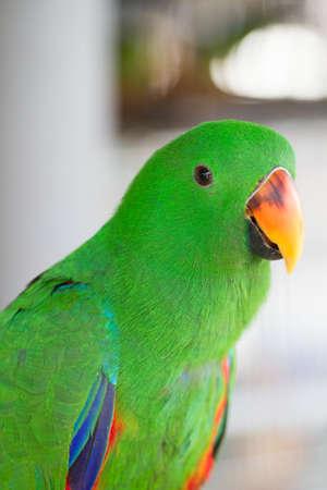 eclectus: Green Eclectus Parrot Stock Photo
