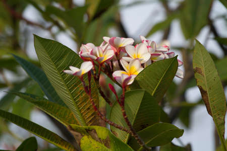 pink frangipani flowers with leaves in background photo