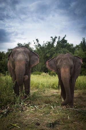 Azië olifant in Thailand