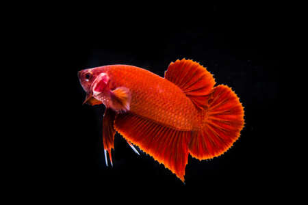 siamese fighting fish, betta fish on black background photo