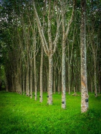 row of para rubber tree Standard-Bild
