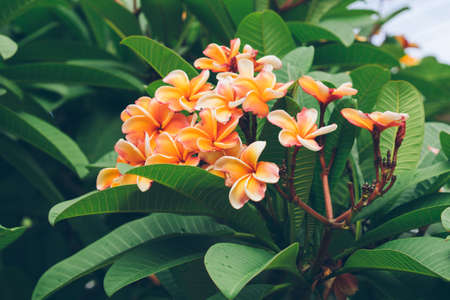 spp: white , pink and yellow Plumeria spp. (frangipani flowers, Frangipani, Pagoda tree or Temple tree) Stock Photo